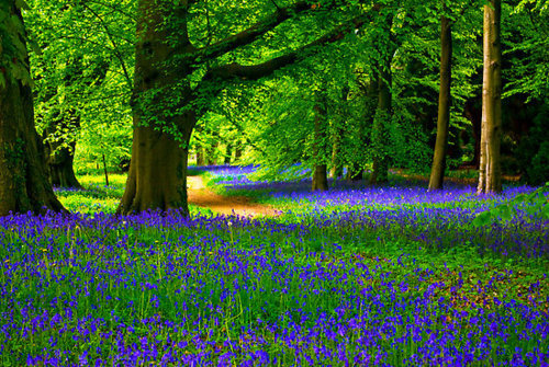 Bluebell Wood, North Yorkshire, England