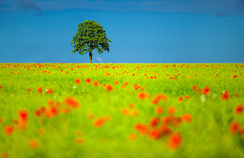 Spring Poppy Field, Ritzerow, Germany