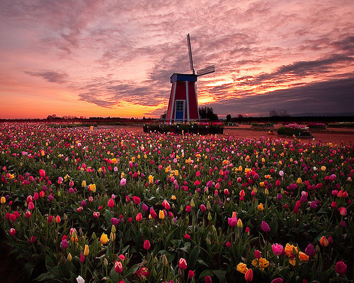 Sunrise Tulip Field, Woodburn, Oregon