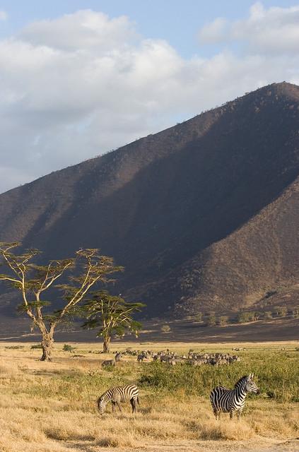 Acacia trees and zebras in Ngorongoro Crater, Tanzania