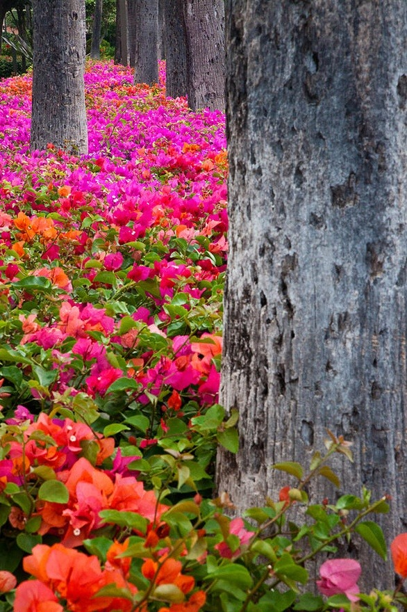 Bougainvillea Forest, Maui, Hawaii