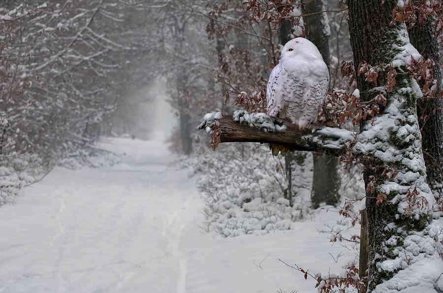 Snowy Owl, Quebec, Canada