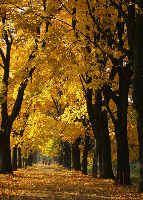 Golden autumn alley in Zwierzyniec, Poland