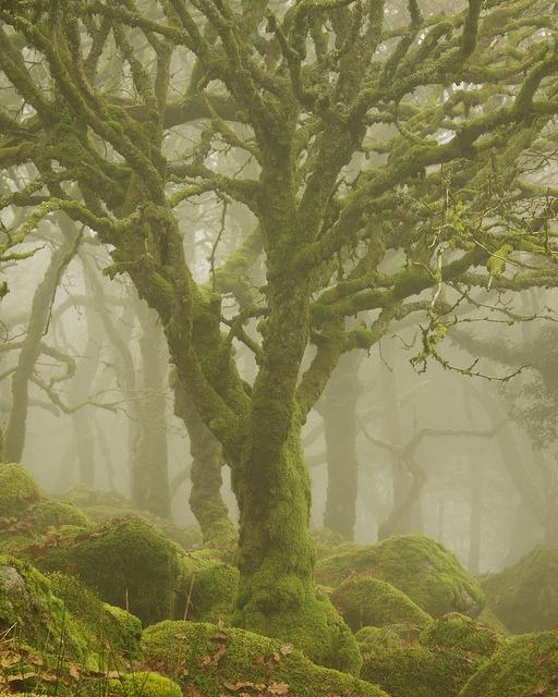 Trees in the mist, Dartmoor National Park, England
