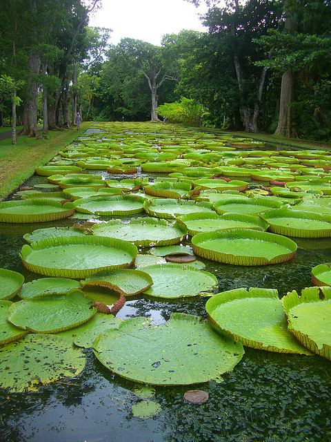 Lily pads at Pamplemousses Botanical Garden / Mauritius